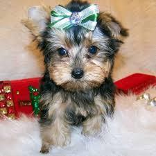 ??Pretty Female and Male Y.o.r.k.i.e puppies??(209) 437-7457