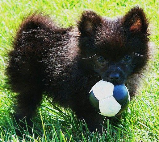 Male and Female Pomeranianss Puppies Available (320) 433 0825