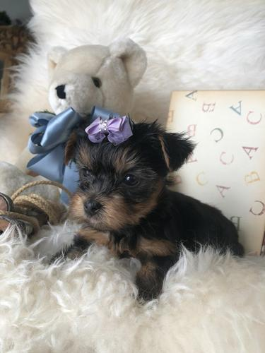 PennySaver | Friendly AKC Teacup Yorkie for sale Txt or Call