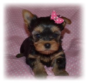 SWEET Y.O.R.K.I.E Puppies:??? (779) 379-1376