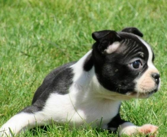 intelligent Five Free Bostons Terriers Puppies