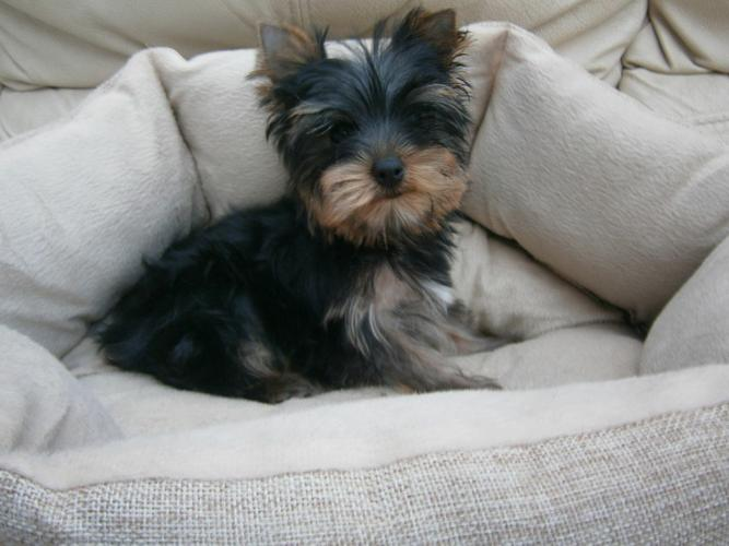 T.R.A.I.N.E.D??REGISTERED...??Tea-cuP????Yorkies????Pu.ppies #484-589-0513