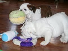 trainRAISED Fine M/F English B.u.l.l.d.o.g Puppies!!!