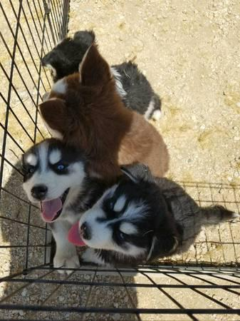 Quality siberians huskys Puppies:contact us at (571) 393-6027