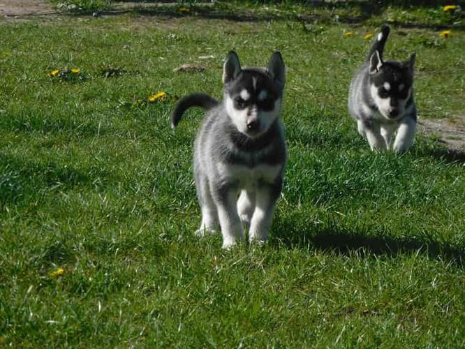 FREE Quality siberians huskys Puppies:contact us at(303) 632-0370