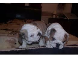 Quality English Bulldogs Puppies:contact us at 201 588 6801