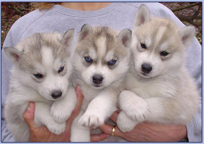 %$% Free Fantastic Female and Male H.u.s.ky Pu.pp.ies for new home %$% (603) 741-0770