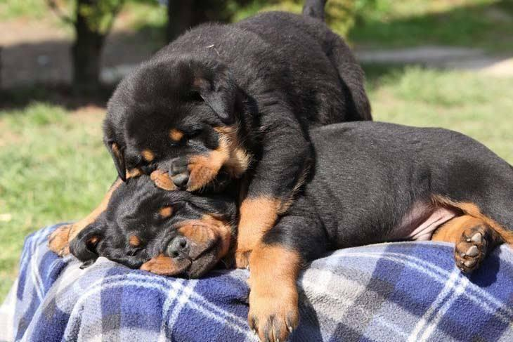 ^2 #Gorgeouse Male and Female R.O.T.T.W.E.I.L.E.R Pu.pp.ies Available
