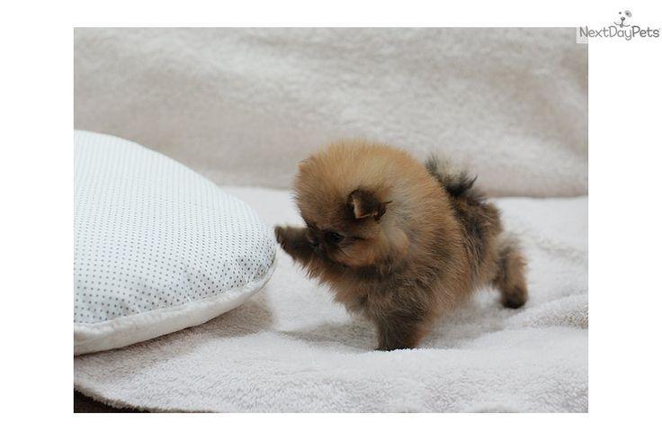 Tea Cup P.O.M.E.R.A.N.I.A.N puppies!!!(478) 304-7397