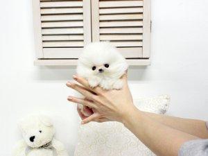 Tea Cup P.O.M.E.R.A.N.I.A.N puppies!!! (478) 304-7397