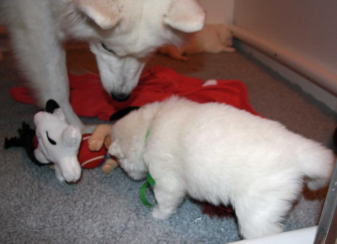 A.d.o.r.a.b.l.e S.A.M.O.Y.E.D Puppies F.o.r Y.o.u... .(323)985-7383