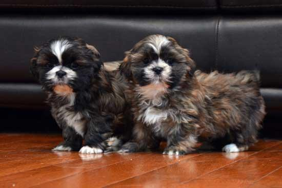 S.h.i.h T.z.u P.upp.i.e.s For F.r.e.e, Ready Now 3 months Old # contct for more info*** interesti