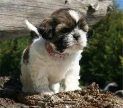 S.h.i.h T.z.u P.upp.i.e.s For F.r.e.e, Ready Now 3 months Old # contct for more info***