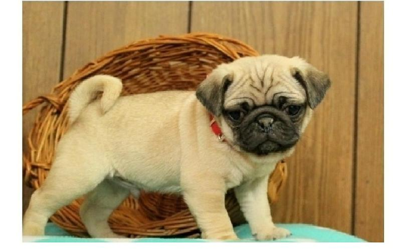 Two Gorgeous P.u.g.  Puppies Available.,--=