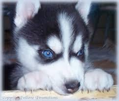 Gorgeous Siberiaan Huskee puppies looking for good homes.