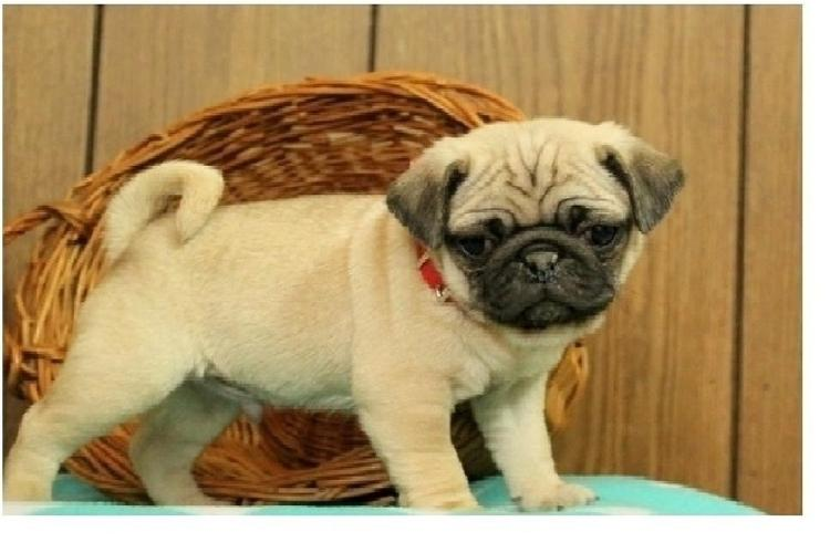 Two Gorgeous P.u.g.  Puppies Available--)