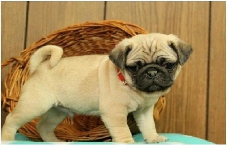 Two Gorgeous P.u.g.  Puppies Available,,..][-