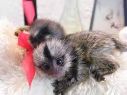 Quality marmoset monkeys Available:contact us at 502-414-3546