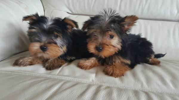 ?Y.o.R.k.i.e P.upp.i.e.s For F.r.e.e, (202) 852-4428/Ready Now 12 Weeks Old #