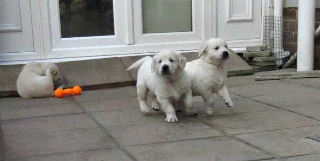 ^2 #Charming Male and Female Gol.d.e.n R.et.rie.ve.r Pu.pp.ies Available (267) 630-3948