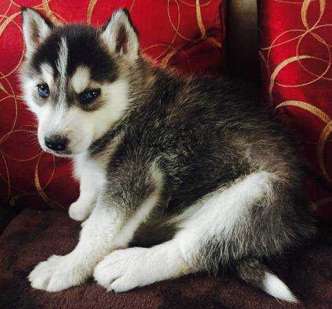quality healthy registered puppies #$contact for more info