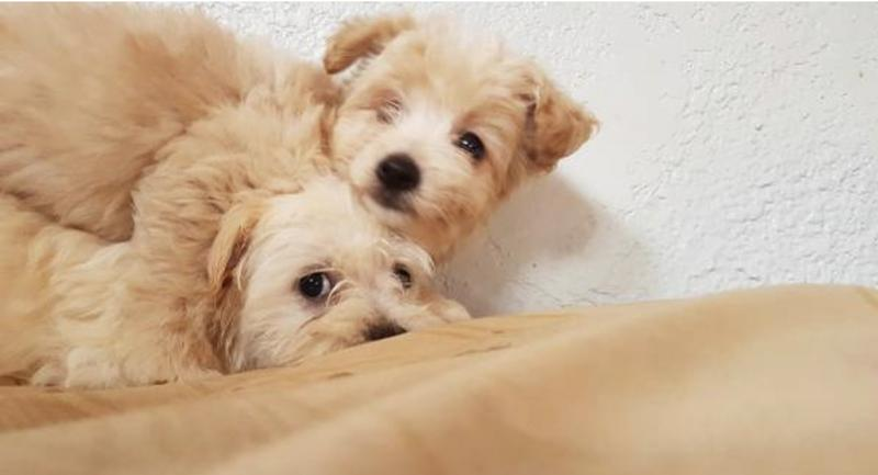 Two Cute 8 weeks female maltipoo