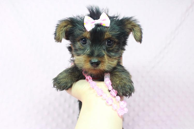 CKC yorkie puppies available in Las Vegas!