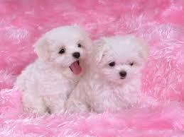 Healthy P.O.m.A.R.A.N.I.A.N puppies for free!!