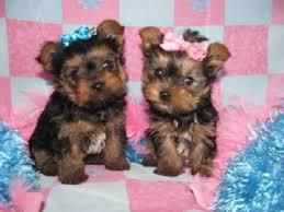 Gorgeous and loving Pedigree yor.kie P.u.p.p.i.e.s for Loving Homes one male and one female!!!