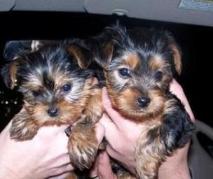 Cute Y.O.R.K.I.E Puppie.s (678) 690-9149