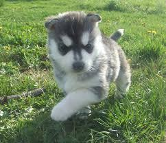 Quality siberians huskys Puppies:contact us at#(323) 510-6812
