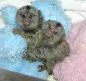 Quality marmoset monkeys Available:contact us at 605-599-7347