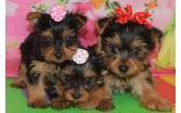 XMASS Tiny CUTE Tea-cup Yorkies Pu.ppies to Good homes, 302-583-3540