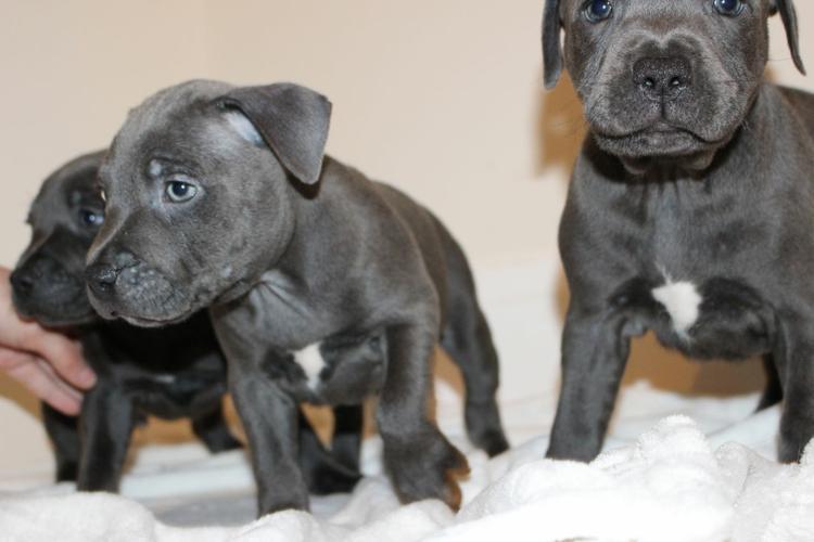 FREE FREE P.I.T. .B.U.L.L.D.O.G puppies!!!7542051738