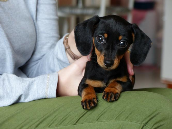 Dachshund p.u.p.p.i.e.s For sale ..Males and females available*.