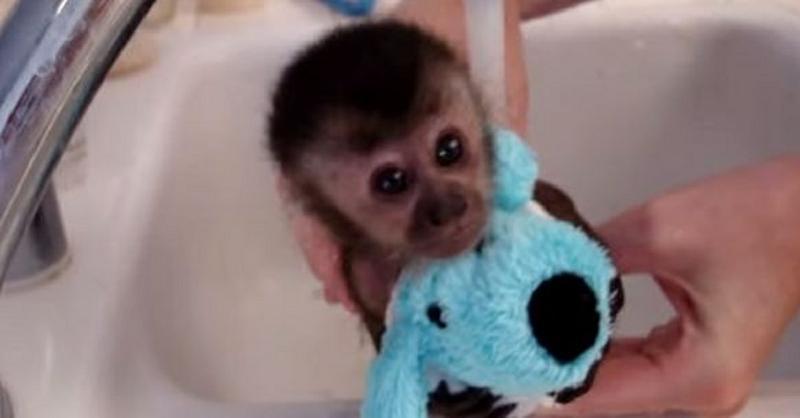 Finger capuchin monkeys (785) 251-9320,,,,,
