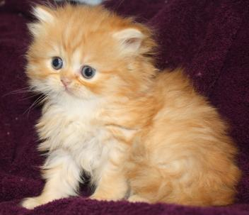 (:*)P#$@ Purebreed Maine Coon Kittens ()*)(*