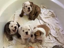 A.d.o.r.a.b.le E.n.g.l.i.s.h B.u.l.l.d.o.g puppies