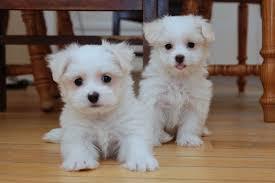 M.altese Pups