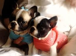 Free Home Trianed French Bull Puppies $