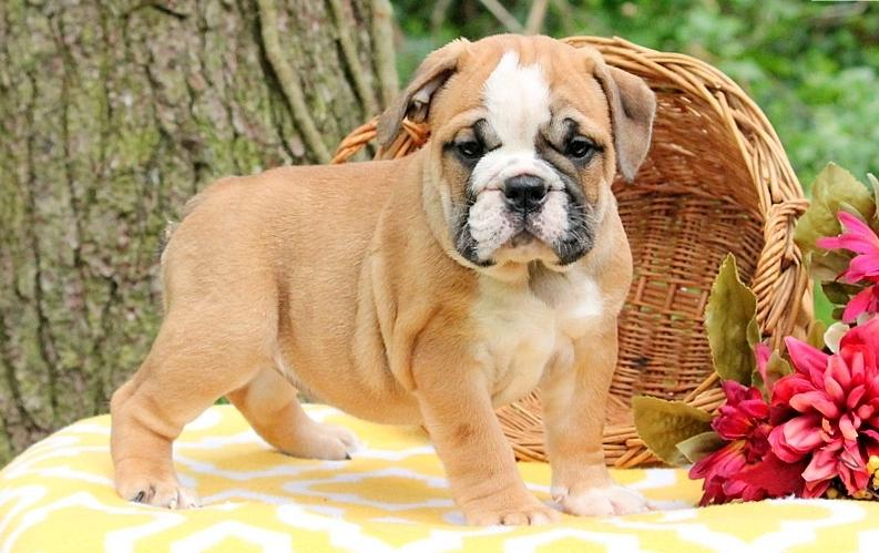 English Buldogss Pupps For Freee   Call At (443) 547-6954