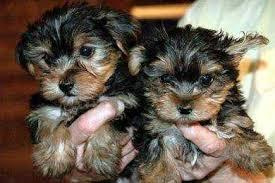 Y.o.R.k.i.e P.upp.i.e.s For F.r.e.e, Ready Now 12 Weeks Old #(901) 504-5637