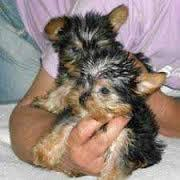 FREE Gorgeous Tea-cup Yorkies Pu.ppies Not For Sell Free) Need Home