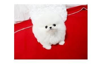 100%% Quality P.o.m.e.r.a.n.i.a.n Puppies,,