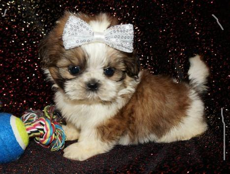 Pennysaver Gorgeouse Shih Tzu Puppies For Sale In King