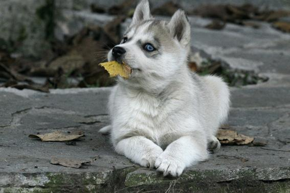 The Siberian Husky we named WOLFY
