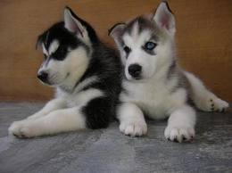 CUTE S.I.B.E.R.I.A.N. H.U.S.K.Y Puppies
