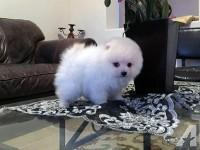 Quality Female and Male Pommerranian Pu.ppies(302) 585-5026.
