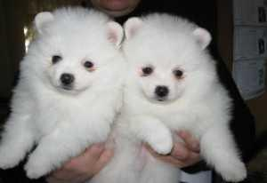 Awesome Charming Female and Male Pommerranian Pu.ppies(302) 585-5026.