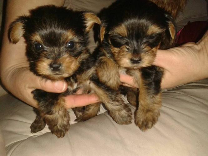 Gorgeous Yorkiees Pu.ppies ) Need Hom (774) 318-6873